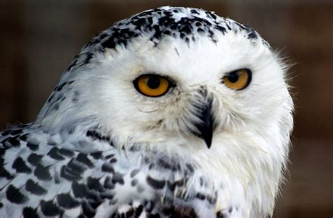 Reporter's Search For A Snowy Owl Takes Him From Maryland