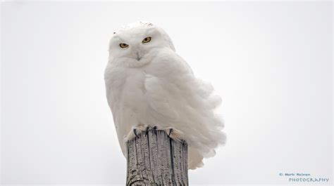 It's Going to be a Snowy (Owl) Winter