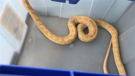 Illegal snakes confiscated in Central Vermont